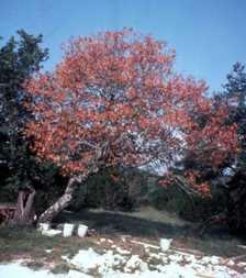 Oak Wilt in Red Oak
